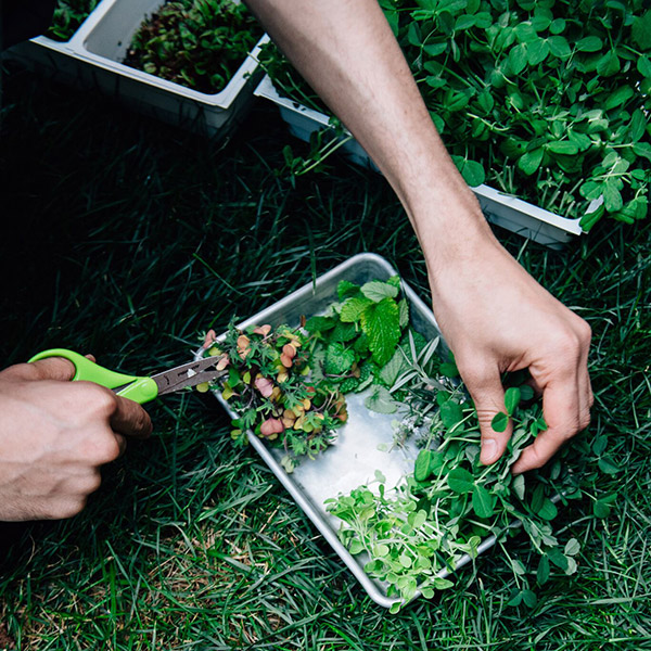Hands harvest greens onto a metal prep tray, outdoors.